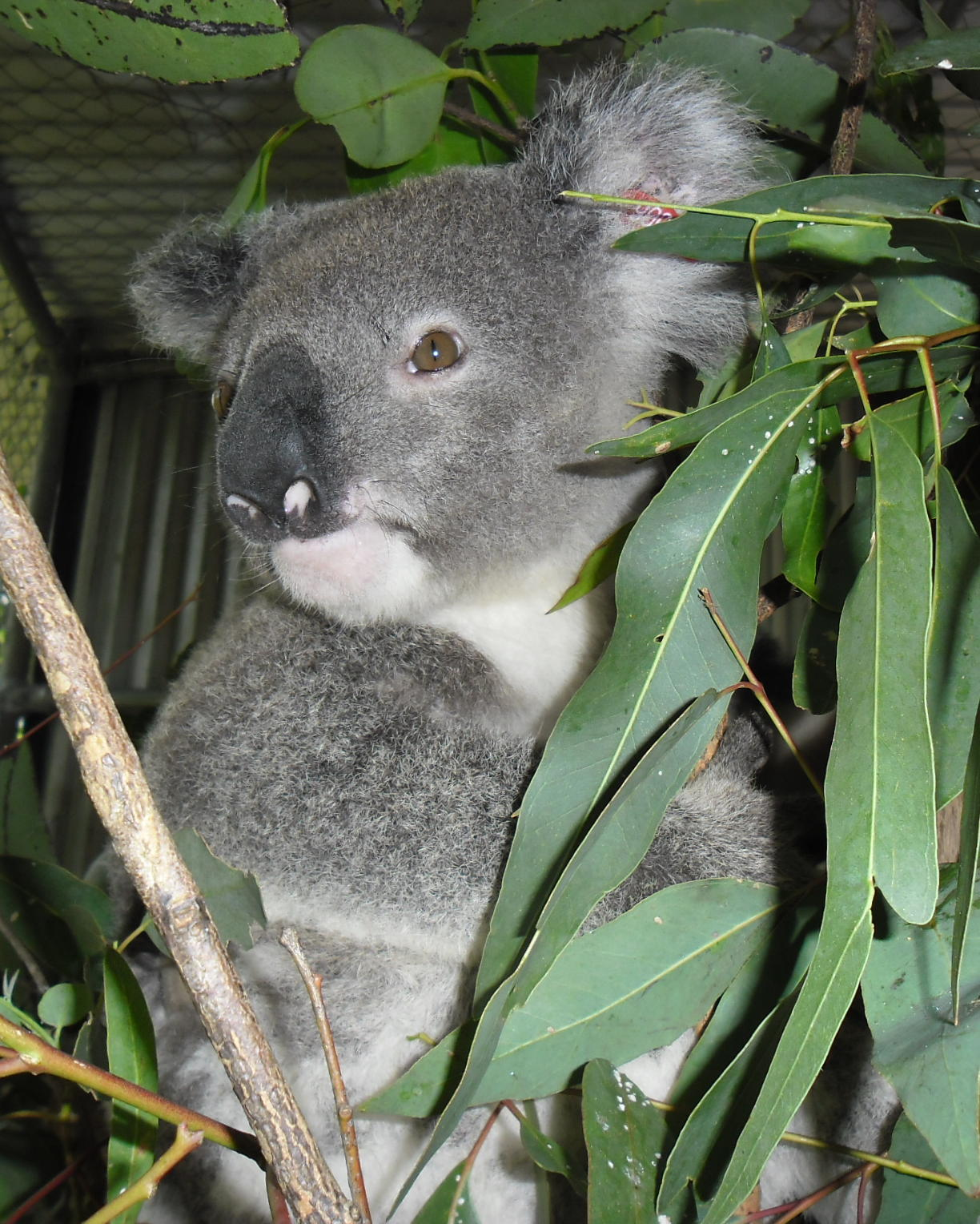 Image courtesy of Friends of the Koala