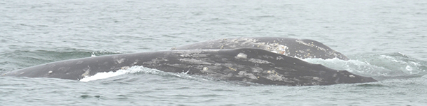 Despite fog,the WGW Research Team's whale photography continues
