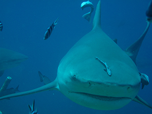 World leaders deliver big wins for sharks, mantas and devil rays at CMS CoP 11