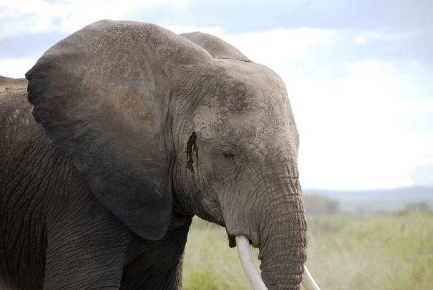 De illegale handel in ivoor van olifanten stond hoog op de agenda van het Perman