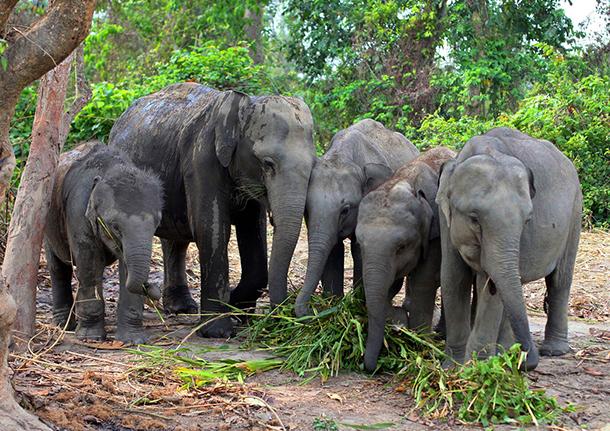 De kleine kudde weesolifanten die verhuisd worden naar het Manas National Park