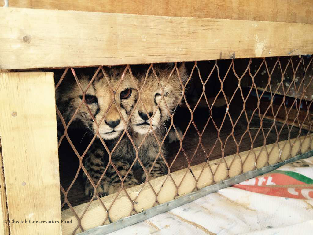 Cheetah Cubs Rescued from Illegal Wildlife Trade in Somaliland