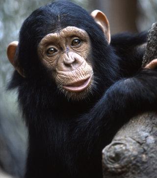Primates as pets no longer!