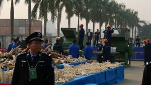 Chine : la communauté internationale salue la destruction des stocks d'ivoire