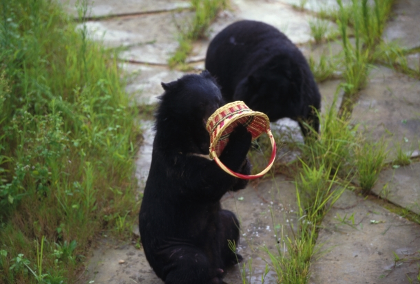 Chu Chu plays with a basket at the Pan Yu Bear Sanctuary, China. Though he was unable to return to the wild, Chu Chu lived a happy life in this sanctuary.
