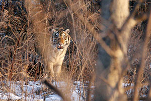Threats persist for wild Amur tigers in Far East Russia