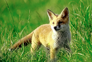 A British fox in the countryside.