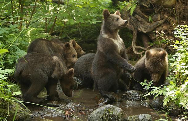 IFAW Orphan Bears Rehabilitation Center tends 13 bear cubs this summer.