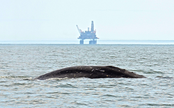 2014 Russian Western Gray Whale Research Team reports good news from Sakhalin Is