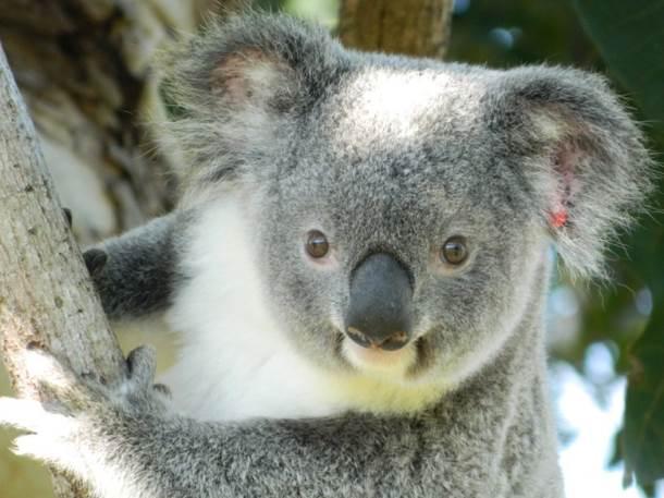 Koala in Lismore, New South Wales, Australia.