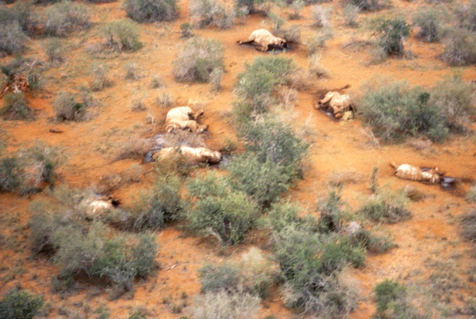 Einige der 2012 in Kamerun gewilderte Elefanten.