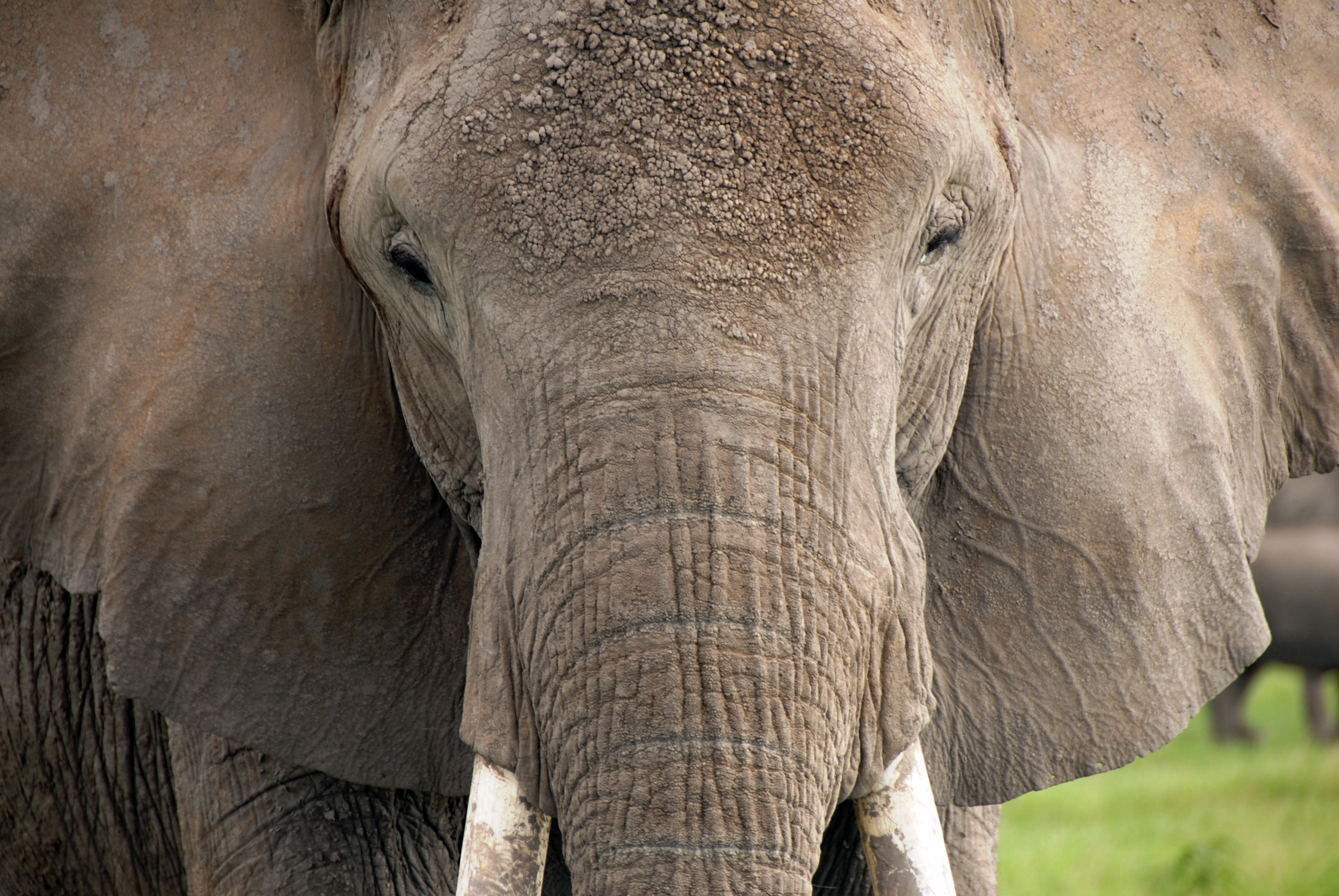 Belgium Calls for EU Ban on Exporting Ivory