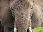 La Belgique réclame une interdiction européenne d'exportation de l'ivoire