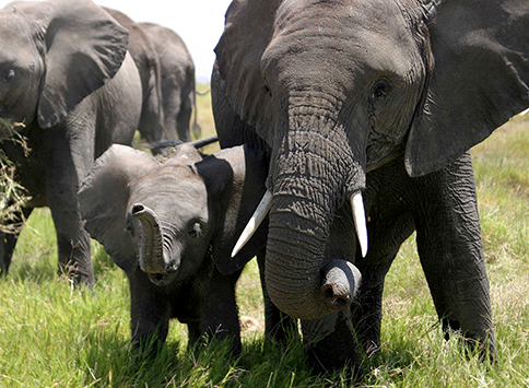 We will not let elephant families in Amboseli die