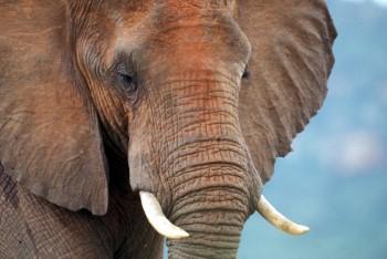 Anders dan wordt gedacht, kunnen veilinghuizen prima zonder ivoor