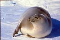 IFAW strongly opposed to sealers' demands for early start to seal slaughter