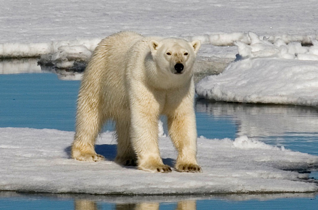 Eisbären werden von nun an von der Bonner Konvention unter Schutz gestellt