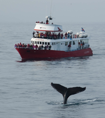 Een bultrug duikt onder naast het walvisexcursieschip Elding in IJsland. Aanbieders van walvisexcursies spreken zich uit tegen de walvisjacht, die de walvissen en daarmee hun inkomstenbron bedreigt.