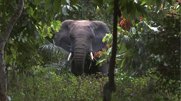 Een jaar later: wat is er gebeurd met de olifanten van Daloa?