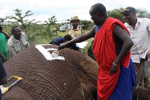 Entre février 2013 et avril 2014, 12 éléphants ont été munis de colliers émetteu