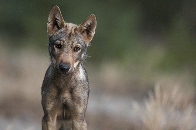 De Centraal-Europese wolvenpopulatie ontwikkelt zich veelbelovend.