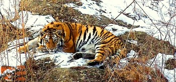 Rehabilitated Amur tiger released back into the wild in Russia