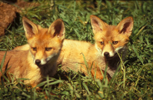 Eight in ten people believe fox hunting belongs to the past