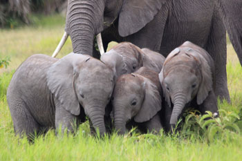 Zum Großziehen von Elefantenkindern müssen in der Familie die richtigen Entscheidungen getroffen werden und alle gemeinsam die Kleinen behüten. Alte, erfahrene Elefantenkühe spielen bei beidem eine wichtige Rolle, besonders bei den GBs, die im Moment auf 14 Kälber aufpassen müssen.