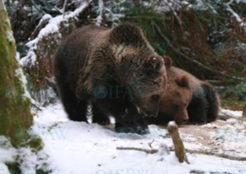 Wintering brown bear cubs Zahar and Pippi at the IFAW Bear Rescue Center in Bubonitsy, Russia