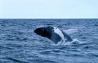 Petition Threatens Right Whale Conservation
