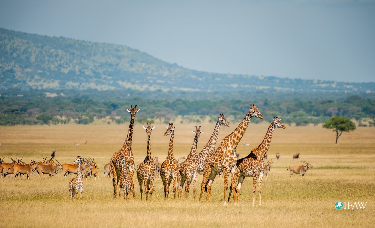 U.S. Endangered Species Act Protection Sought for Giraffes