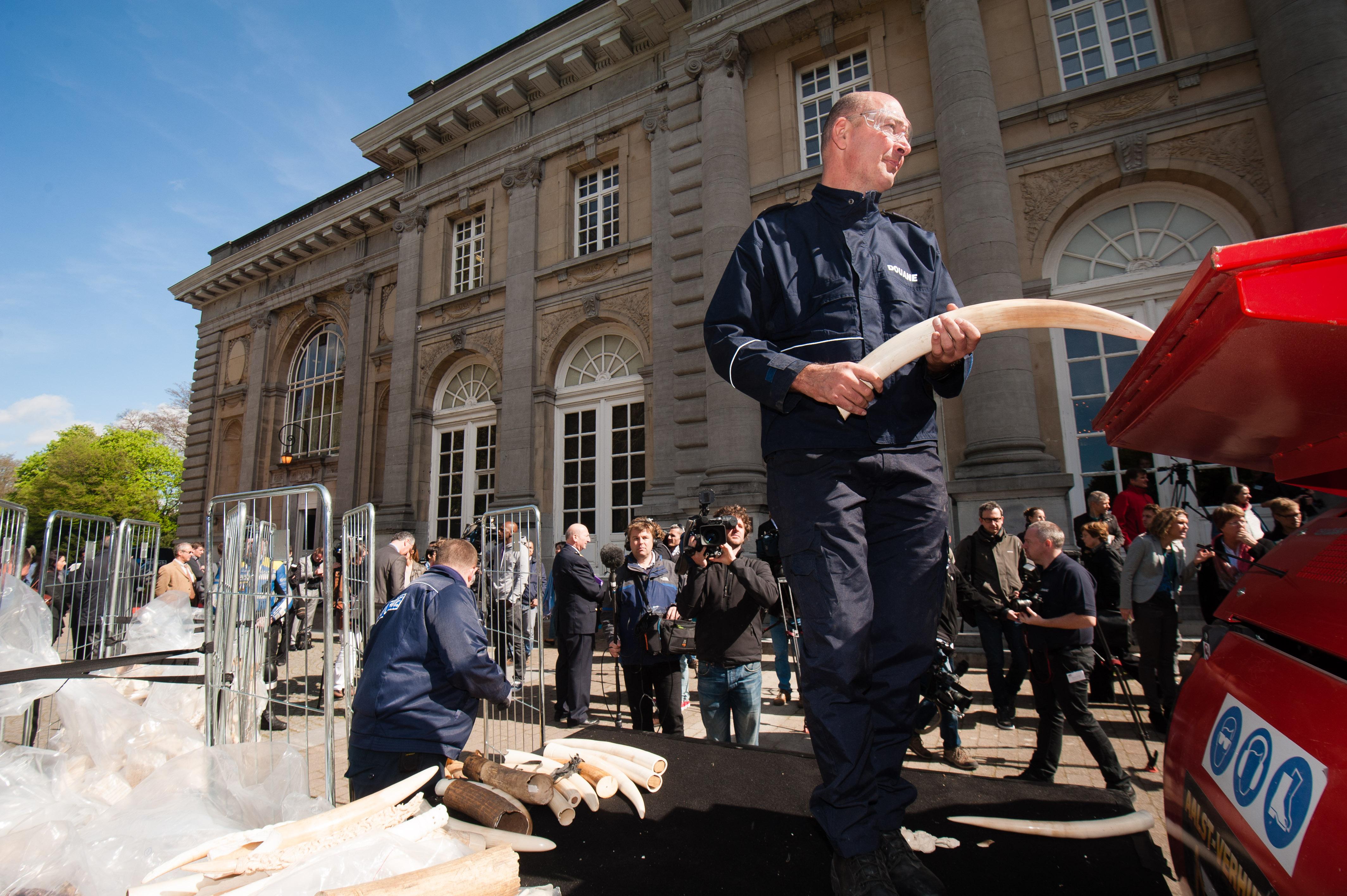 比利时销毁1.5吨象牙