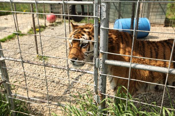A Success Story for Big Cats in New York