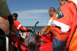 Cape Cod dolphin stranding round up