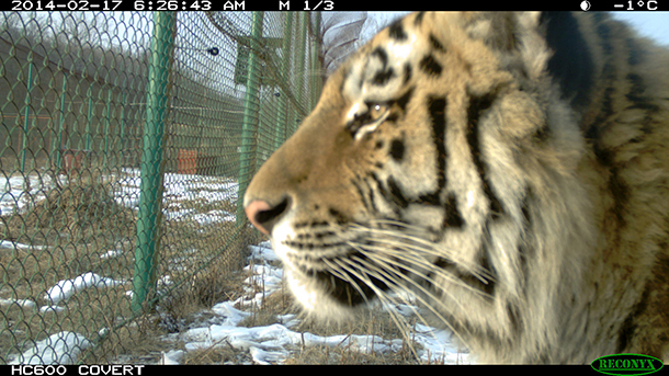 Rehabilitated Russian tigers heading into the homestretch