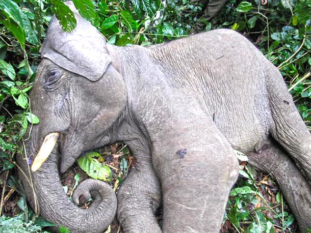 Périple au cœur de la forêt indienne pour secourir un éléphant cribl