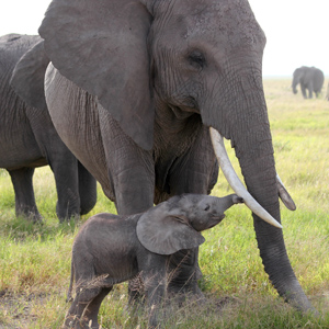 U.S. Fish and Wildlife Service suspends the import of sport-hunted African eleph