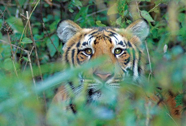 Indien gibt bekannt, dass sich die Tigerpopulation erholt hat