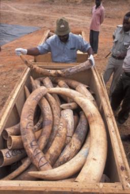 Die kenianische Polizei konnte 300 Stoßzähne sicherstellen.