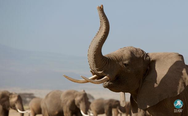 Il semblerait que l'interdiction totale de l'ivoire au Royaume-Uni va enfin deve