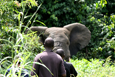 IFAW organise une opération de sauvetage éléphantesque en Côte d'ivoire