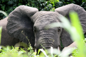 Protecting elephants to benefit people