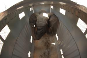 Historische overplaatsing bosolifanten in Ivoorkust