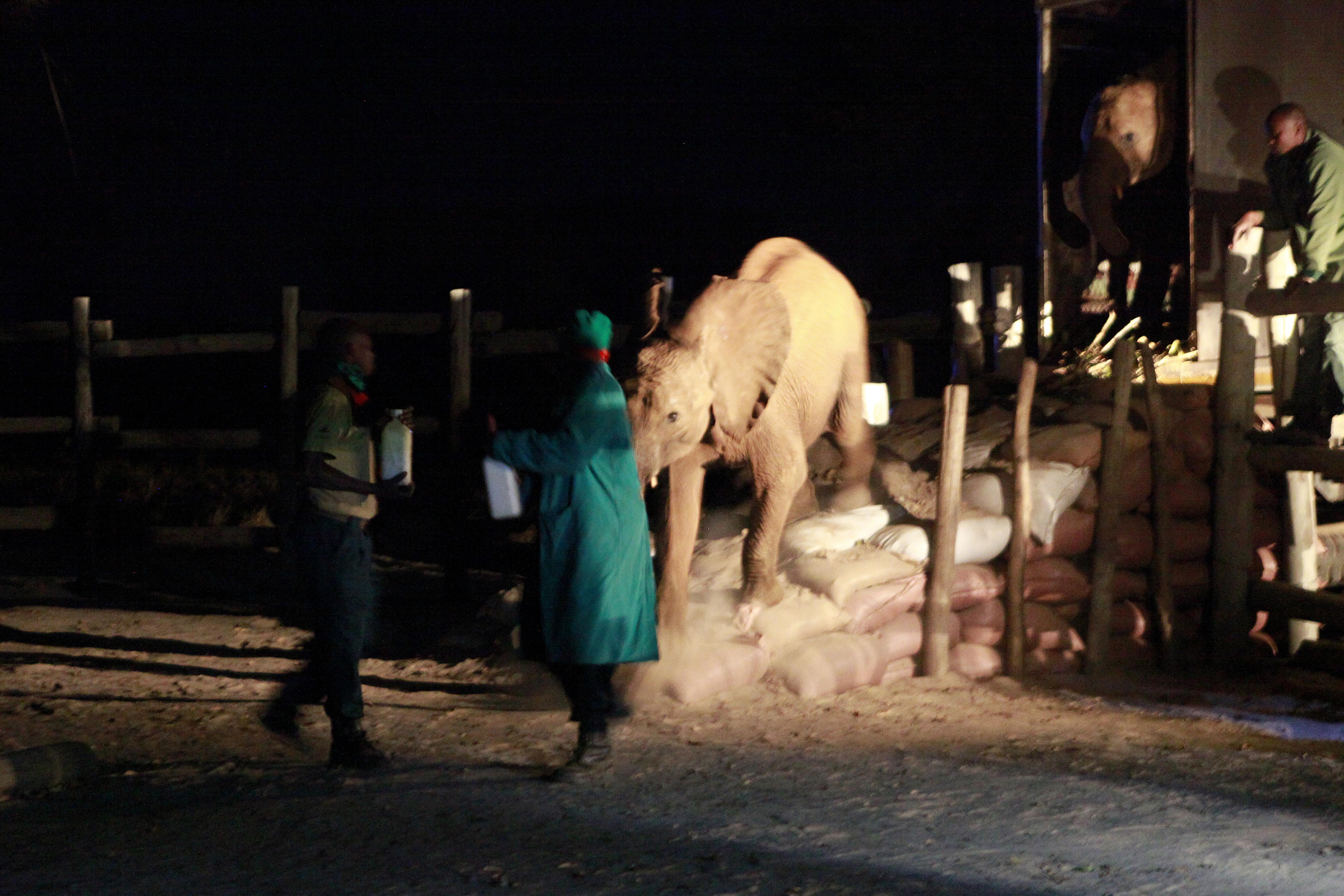 Olifantenwezen richting terugkeer naar de vrije natuur