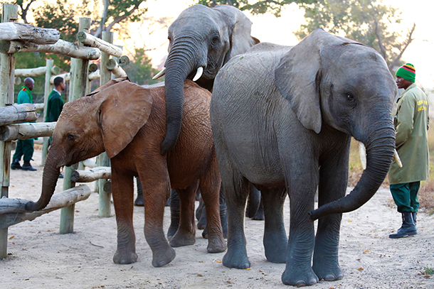 Two elephant calves, delivered in good order, join a new family in Zambia