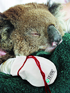 Overwhelming response from UK public to appeal for mittens to help koalas injure