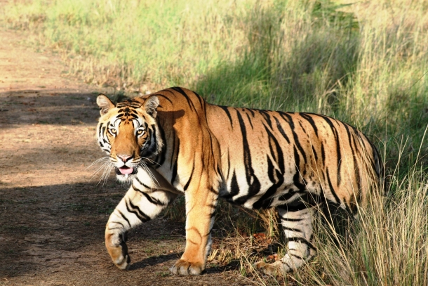 A tiger in the Kanha Tiger Reserve, one of the animals that Ram Singh Dhubre died protecting.