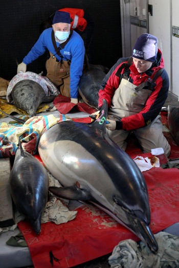 IFAW volunteer, Mike Giblin, watches while Katie Moore, IFAW Marine Mammal Rescue Team Manager, attaches a satellite tracking tag to a rescued common dolphin in an IFAW rescue truck before it is released back into Cape Cod Bay