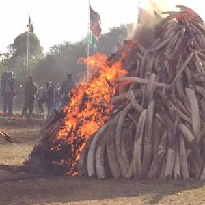 Kenya destroys ivory stock pile