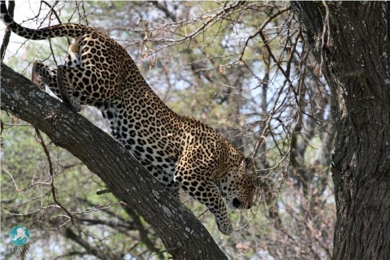 Leoparden werden in Zukunft besser geschützt